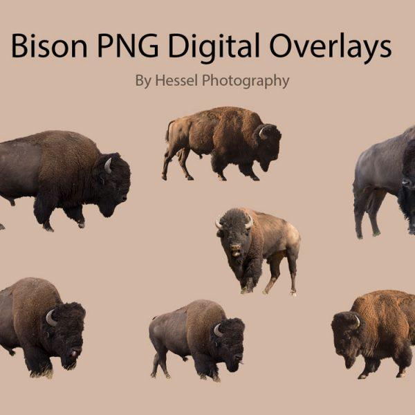 Bison Buffalo PNG overlay
