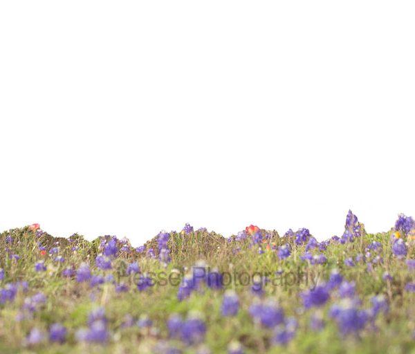 Bluebonnet-Field--overlay-watermark