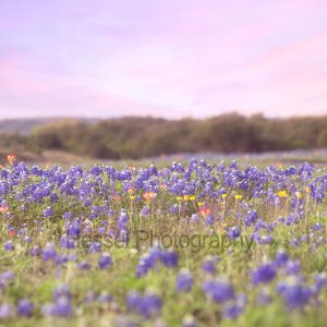 Bluebonnet-Field-watermark