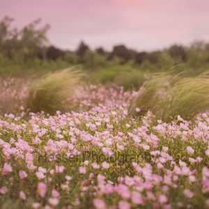 Pink-Flower-Field-watermark