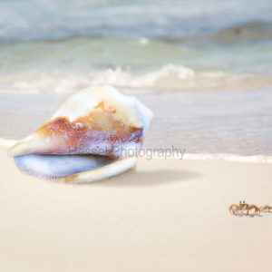 shell-and-crabs-watermark